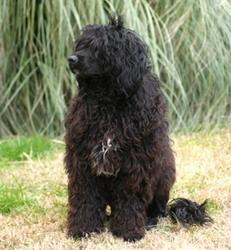 Torrid Zone Portuguese Water Dog Dapeminos Aramis-Life