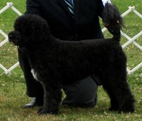 Torrid Zone Portuguese Water Dog PWDINFO | STUDDOGS